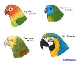 3 how to draw parrots draw macaws