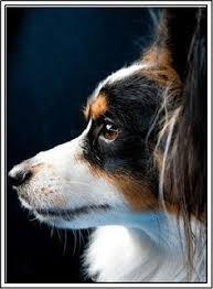 australian shepherd ebay 15 toy dog breeds that will make you want a little dog papillon