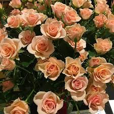 Peach Roses 30 Best Peach Roses Images On Pinterest Peach Flowers Peaches