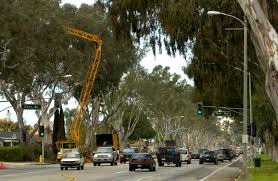 how eucalyptus trees came to thrive in the south bay and harbor