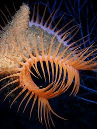 venus flytrap sea anemone wikipedia