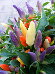 ornamental pepper numex easter all america selections
