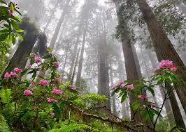 coastal climate not cool for redwood forests