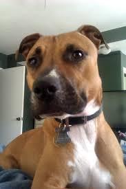 boxer dog in heaven pit boxer photo happy dog heaven