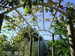 grape vine tunnel illusion of long tunnel but with spaces for