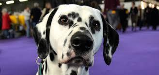 dalmatian dogs101 andrea arden dog training