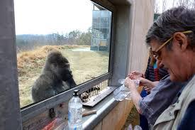 Tennessee wildlife tours images Gorillas in georgia a tour of the dewar wildlife trust sanctuary jpg