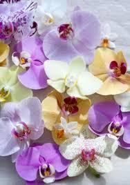 the flower of november world love flowers