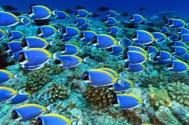 powder blue powder blue tang royalty free stock photos image 27410228