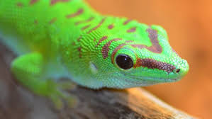 what do geckos eat reference com