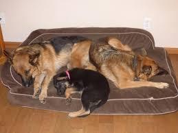 Cedar Dog Bed Dog Bed Cedar Chips Noten Animals