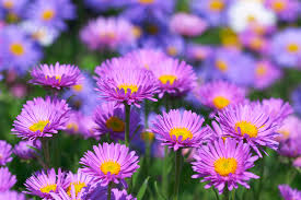 aster flowers tips on caring for asters