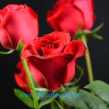 black roses for sale black bushes for sale export fresh cut flowers carola