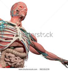 Images Of Human Anatomy And Physiology Human Physiology Stock Images Royalty Free Images U0026 Vectors