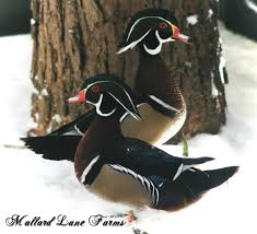 wood ducks for sale mallard farms