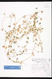 Florida Wetlands Map by Drymaria Cordata Species Page Isb Atlas Of Florida Plants