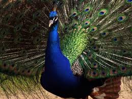 9 wallpaper peacock blue infowpb com