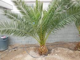 108 18 canary palm affordable tree service las vegas nv