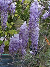 Fragrant Plants List Easy Fragrant Plants