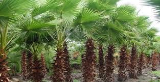 sylvester palm tree price jacksonville s tree source jacksonville jacksonville beaches