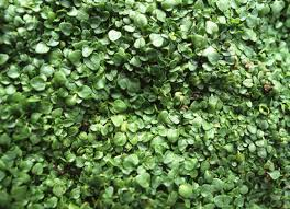 Fragrant Plants For Shade - 11 best ground cover flowers u0026 plants low growing perennial flowers