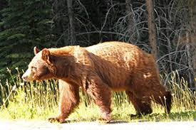 bear basics mountain national parks