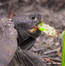 file gopher tortoise snacking on opuntia nopales cactus at