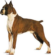 2 types of boxer dogs dog history domestication physical traits u0026 breeds