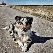 australian shepherd off leash how to deal with younger australian shepherd being too aggressive