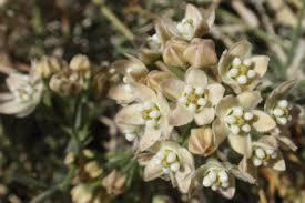 twelve native milkweeds for monarchs the national wildlife