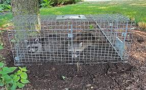 Raccoons In Backyard Where Do Raccoons Live