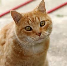 cat wiktionary
