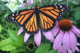 monarch butterflies flying high this year after recent declines