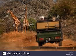 safari land cruiser viewing a giraffe from a safari land cruiser in the phinda game