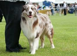 australian shepherd colors dog coat colour genetics