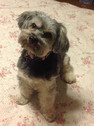 hair accessories for yorkie poos 19 best yorkie poo haircuts images on pinterest dog grooming