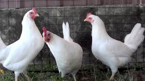 white leghorn chickens chickens for backyards youtube