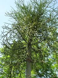 pencil tree cactus euphorbia tirucallii big 7