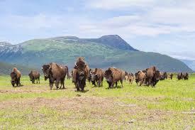 Alaska wildlife images Wood bison alaska wildlife conservation center jpg
