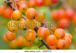 ornamental apples germany stock photo royalty free image