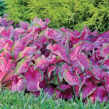 longfield gardens 1 florida sweetheart caladium bulbs 5 pack