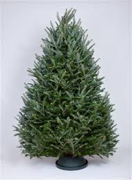 fraser fir tree 6 5 7 ft fraser fir trees green valley christmas trees