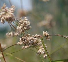 luzula nivea 5 plants wildflower wildlife pollinator