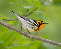 Ohio birds images Migratory madness lower olentangy urban arboretum jpg