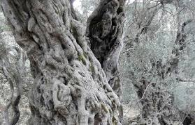 bechealeh s ancient trees still producing high end olive