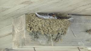 Barn Swallow Nest Pictures Meet The Swallows Of New York Harbor Ny Harbor Nature