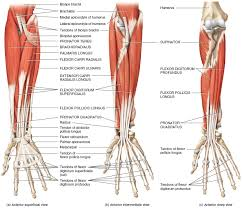 forearm muscles origin insertion nerve supply u0026 action how to