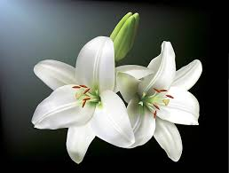white lilly royalty free white clip vector images illustrations