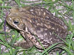 how to get rid of cane toads in backyard home design inspirations