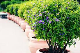 winterharte pflanzen balkon winterharte kübelpflanzen und balkonpflanzen